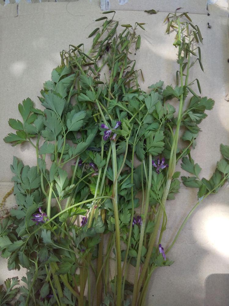 植物の名が知りたいです。 抜いてから少し置いてしまって、萎れてしまっています。 種子が沢山、上部に出来ています。