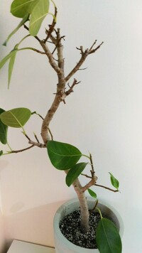 アルテシマです(^.^) 葉っぱがなぜか少なくなってしまい ました約1年半です原因はわからない です水やりは月1ぐらいです 栄養剤を混ぜて水やりしたら少し 芽は出ました葉っぱを増やすには どうしたら良いでしょうか?