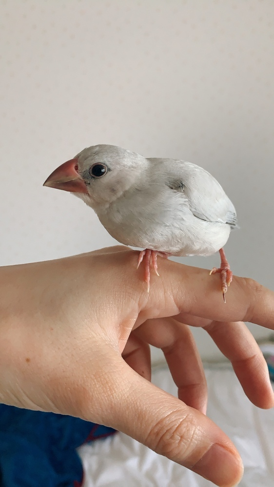 1週間前に生後2ヶ月くらいの文鳥を飼い始めました。 ゲージに引っ掛けてしまったのか、数日前から左足が捻挫っぽくなっていて色もすこし違っています。爪も内出血している感じです。 病院に連れていったら、捻挫だと言われたのですが特に処置は受けていません。 ご飯もモリモリ食べますし、放鳥した時も元気です。止まり木に捕まりはするけれど、毛ずくろいの時によろけたり、左足だけ力が入っていない風に思えます。