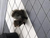 これなんていう動物ですか? 新宿西口のコクーンタワー周辺で見かけました。周りに自然はほとんど無い都会のど真ん中です。 初見では飼い犬かと思ったんですが、首輪等はしておらずかなり衰弱していました。 写...