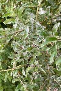 この木はなんですかね。白い粉が吹いていますが病気ですかね?