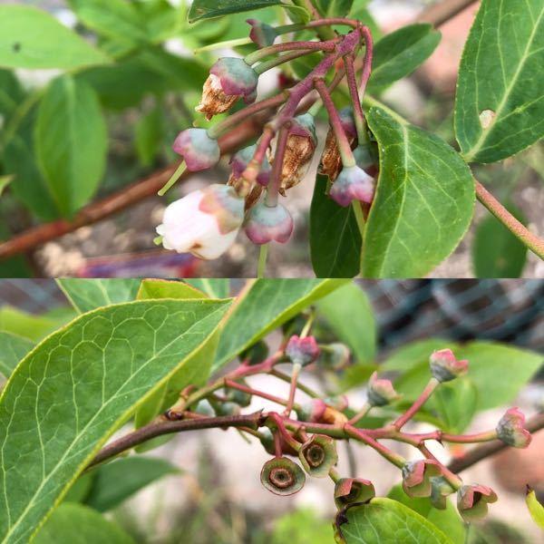 引き続きブルーベリーに関する質問です。 これらは受粉しているのでしょうか? 2週間くらいで花が落ちたのですが。。 近くには1-2年の別品種があるのですが、花の時期が遅く最近咲いたくらいなので時期が微妙にあってないように感じます。 ハチさんはよく飛んでます