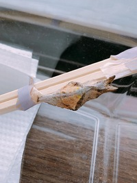 この蝶の蛹は死んでしまっていますか?  物置のかげにアゲハの仲間と思われる蝶の蛹を発見しました。 ですがこの子は他のアゲハの蛹に比べてやたら白く乾燥しているような気がします。 いつ蛹になったのかもわからないので、もしかすると既に死んでしまっているのでしょうか??  生きた蛹と死んだ蛹の見分け方なども知っている方がいれば教えてください。