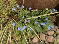 この青い小さな花はなんと言う名前ですか?