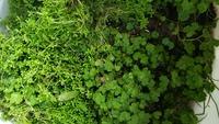 川の淵に自生していた植物ですが水槽の中に入れて水草になりますでしょうか? また何という植物でしょうか?