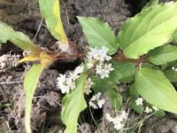 この花の名前はなんでしょうか? 千葉県房総半島の鋸山で4月の終わりにたくさん咲いていました。たぶん木ではなくて草だったと思います。色々調べてみましたが白い花が多すぎて同定できず、どうかよろしくお願い...