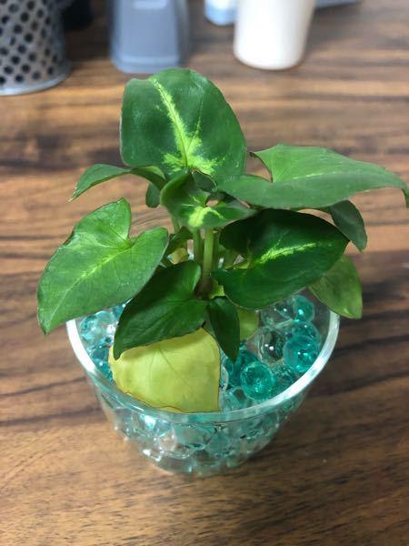 DAISOで観葉植物を購入したのですが、名前のプレートを間違えて捨ててしまいました。何という植物なのでしょうか?