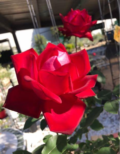 このバラの名前を教えてください。 ・ハイブリッドティー ・四季咲き ・大輪系 ということは分かっています。 育て方のコツなども教えていただければ幸いです。