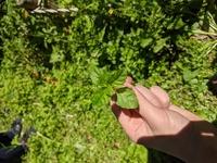 これなんの植物かわかりますか?ミントみたいな見た目で森の中に生えていました。匂いはふつうの草です