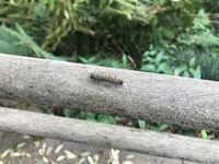 この毛虫は何蛾ですか?キアシドクガの中に混じってました。