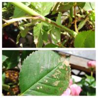 バラのべと病の対処について教えてください。 ミニバラのベルガモフォーエバーがべと病らしき病気にかかってしまいました。 遡ると2週間ほど前から様子がおかしかったのですが、最初は乾燥か肥料当たりだと思って見過ごしてしまいました。  ここ一週間で紫斑や枯れが広がり、周りのバラにも小さい紫斑が出るようになってべと病だと思い、病害が酷い葉を除いて24日土曜に購入したエムダイファーを散布しました。  周...