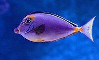 ナンヨウハギに似た魚の名前を教えて欲しいです。 全体的に紫色で背鰭は黒、口はとんがっていて目の上から口にかけて、お腹辺りと尾鰭の付け根あたりが黄色い魚です。 よろしくお願いします。