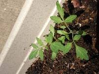 この植物は何か教えて下さい! 少し前に、ベランダのプランターへゴーヤの種を植えました。 しかし、出て来たのはどうもゴーヤでは無さそうな芽です。トマトかな?と思いましたが、植えた記憶はありません。どなたか教えて下さい。宜しくお願い致します。