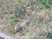 いまさっき家の林のところで歩いてました この生き物はなんて名前の生き物ですか? 詳しい方教えてください。 たぬき?キツネ?