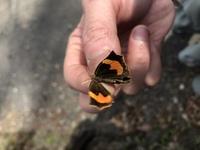 この蝶の名前はなんでしょうか? この前軽井沢の白糸の滝で捕まえました。 よろしくお願いします。