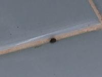 この小さい虫、何と言う虫ですか? 全体的に黒っぽいのですが茶色?ですこし模様が入っています。 毎年この時期になると家の色んな所で見かけます。最近は飛んでるところも見かけて……調べてもよくわからず。 (虫が苦手なので)ティッシュで捕まえて潰そうとしてもなかなか死んでくれなくて焦りました。 正体を知りたいので分かる方いらっしゃったらよろしくお願いします。