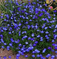 これは何という花でしょうか? いつの間にか出てきました。 綺麗なのでそのまま育てていますが、雑草でしょうか? 名前が知りたいです!