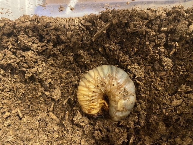 昨日、カブト虫の幼虫が土の上に出てきており、一切動かなくなっておりました。 死んでしまったのかな?と思い少しつついたりしましたが、その時は動かず… 少し霧吹きをしておき、先程見てみると足を少し動かしています。 蛹室をつくろうと思ったけど、土が乾いていたからでてきてしまってのでしょうか? 今から新しい土にかえる、または足しても大丈夫でしょうか?