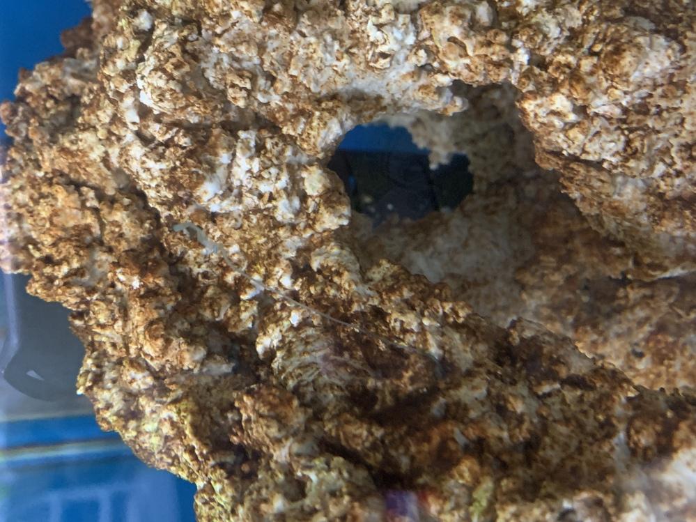 ライブロックから青色の触手のようなものが出ています。これは何ですか? 近づいたり取ろうとするとライブロックの中に引っ込んでしまいます。 魚に害はありますか?