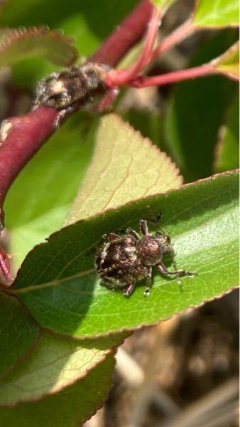 この虫の名前を教えてください。 庭の梅の葉にたくさんいます。 害虫でしょうか?