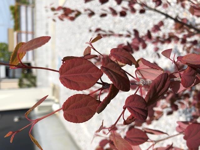 カツラの木について質問します。昨年12月に鉢植えを庭に植え替えました。 4月30日現在、葉が開いた状態でかなりたちますが赤紫色をしています(写真)。もともと葉が赤色の品種ではありませんし、鉢植えの時は明るい黄緑色をしていました。原因や対処方はあるのでしょうか?木の高さは1.5mほどで、葉自体は元気そうに見えます。よろしくお願い致します。