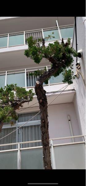 これは、真柏ですか? みづらくてすみません。 真柏と、檜葉は同じものですか?