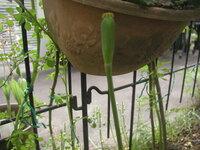 ☆チュウリップの種取り,種まきについて 1 庭のチュウリップに種ができそうです(写真)。 2 そこで折角ですから,種を取って,種を播いてみたいと思います。 3 つきましては,  ①いつ頃,種を取ったらよいのでしょうか。  ②種は,いつ頃,播いたらよいのでしょうか。  ③種は,どういう土に播いたらよいのでしょうか。  ④種は,鉢播きがよいのでしょうか。地か蒔きがよいのでしょうか。 4 どなたか...
