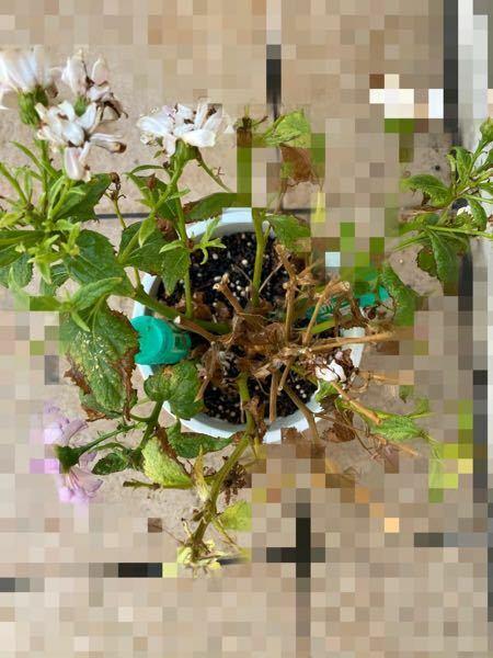 学校でシネラリアの方を昨年に育て、 3月の半ばくらいで満開の状態で持って帰ってきました。 ここ一、二週間に花がかれ始めたのが目立ち、 切り戻しを知識もなく行い、 バチバチ切り取ってしまった挙句、写真のように真ん中の方だけ枯らしてしまいました。 奇跡的に切り戻しに成功した場所があるようで、そこだけ綺麗な花と葉が生えてきています 個人的には、もうそろそろお別れしたいのですが どのように処理すれ...