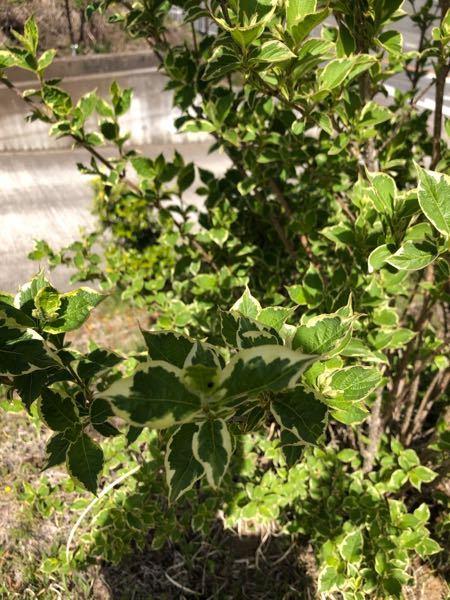 庭木で斑入りの葉っぱの樹木なのですが 名前が分かりません!わかる方おられますでしょうか??