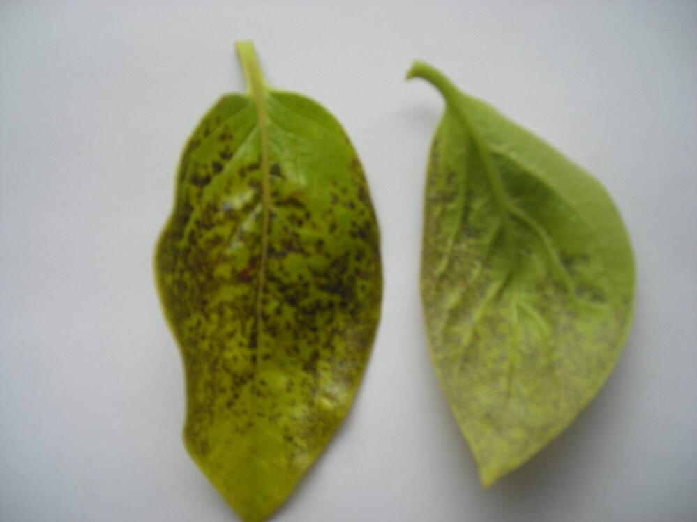 柿の若葉の一部が黒くなっています。表面をこすっても落とせません。葉の中にしみ込んでいるように見えます。先端が黄色く変色しています。 何と言う病気でしょうか?。対処法を教えて下さい。