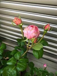 バラの花が変です。 咲く花全てが花びらが硬くて汚く咲きます。 花びらがなかなか開きません 蕾から花が開くまでもかなり時間がかかり、何か病気か根の問題なのでしょうか  キレイに咲かせる方法がありましたら教えて下さい。 鉢植えで南西の日当たりの良い場所で育てています。 栽培場所は関東中心部です。 アドバイスを頂けましたら幸いです。