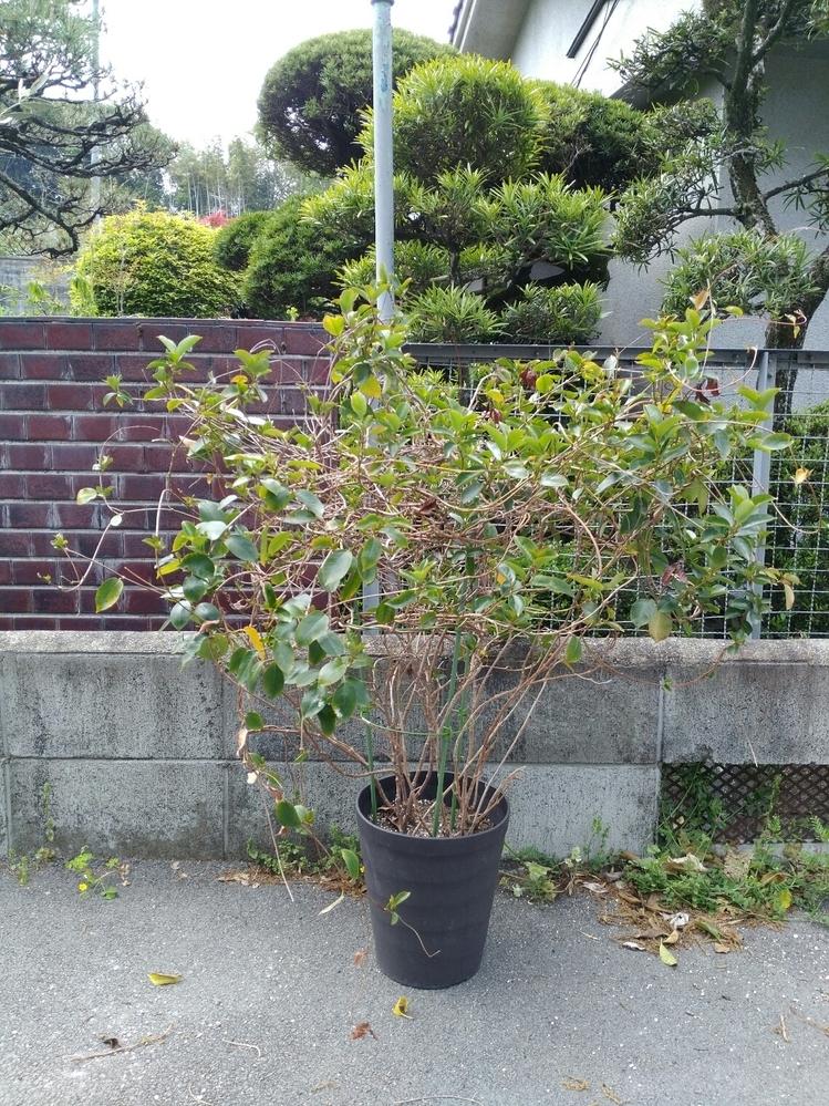 この観葉植物は何ですか? 見る限り非常に鉢が小さいように思うのですが 頭が大きすぎて、すぐに鉢が倒れてしまいます 植え替えた方がいいのでしょうか