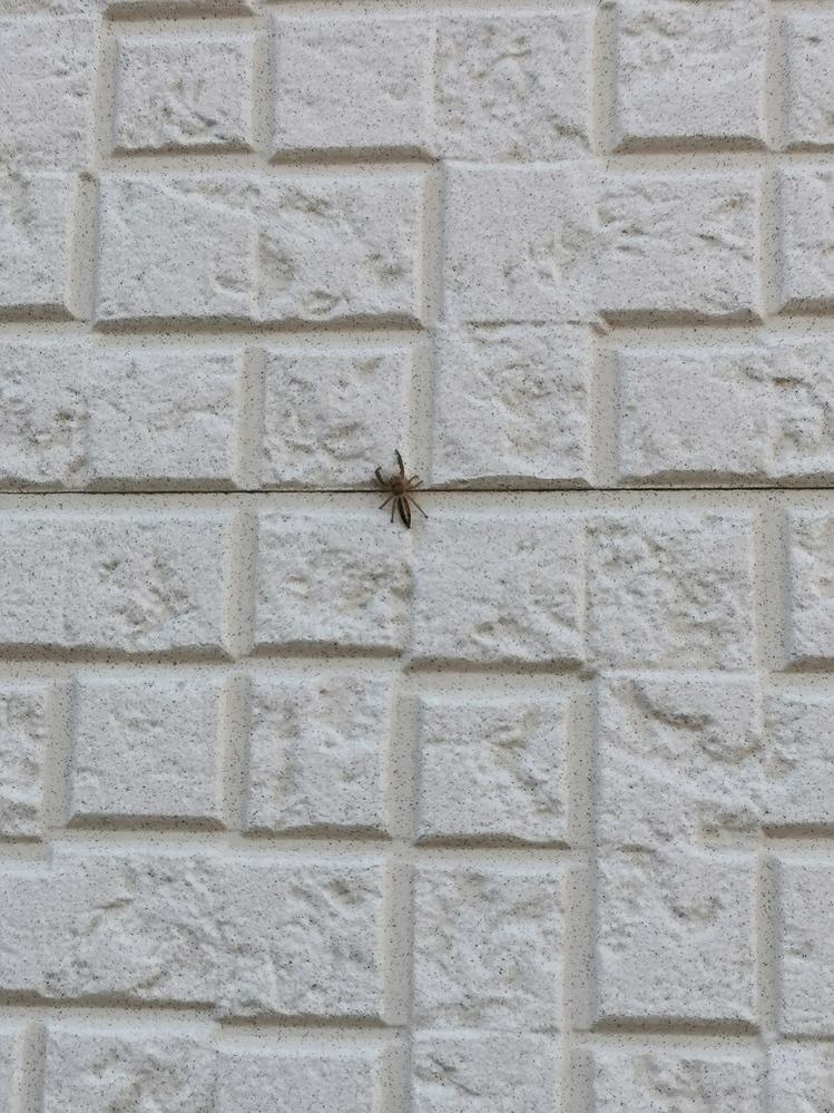 ※クモの画像あります この蜘蛛は何という蜘蛛でしょうか? 時々家の中に出ます。 家の周りは田んぼが多いです。