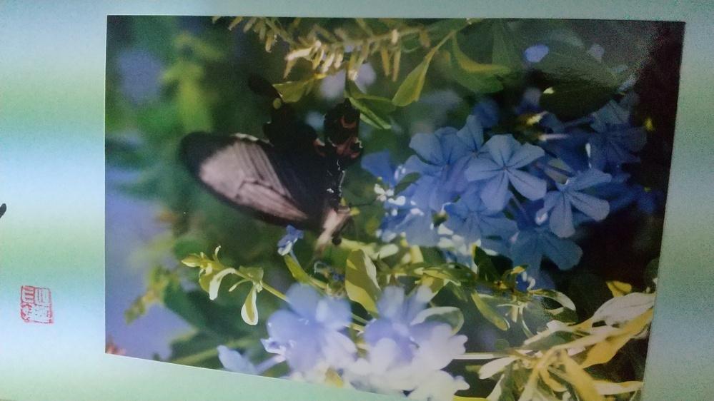 このルリマツリ(はな)に遊びに来た蝶々名前教えて下さい
