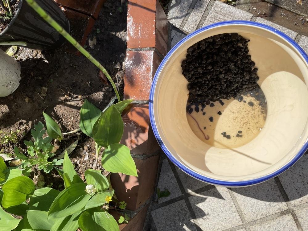 睡蓮鉢にミミズ。。。 ミニ睡蓮を先月頂き、育てています。 水が汚れてきたので水を取り替えていたらミミズを発見。 睡蓮を入れているポットに荒木田土を使ったのでそこから入ったのかもしれません。 近いうちにメダカを睡蓮鉢で飼う予定なのですがミミズはこのまま入れていて大丈夫でしょうか。