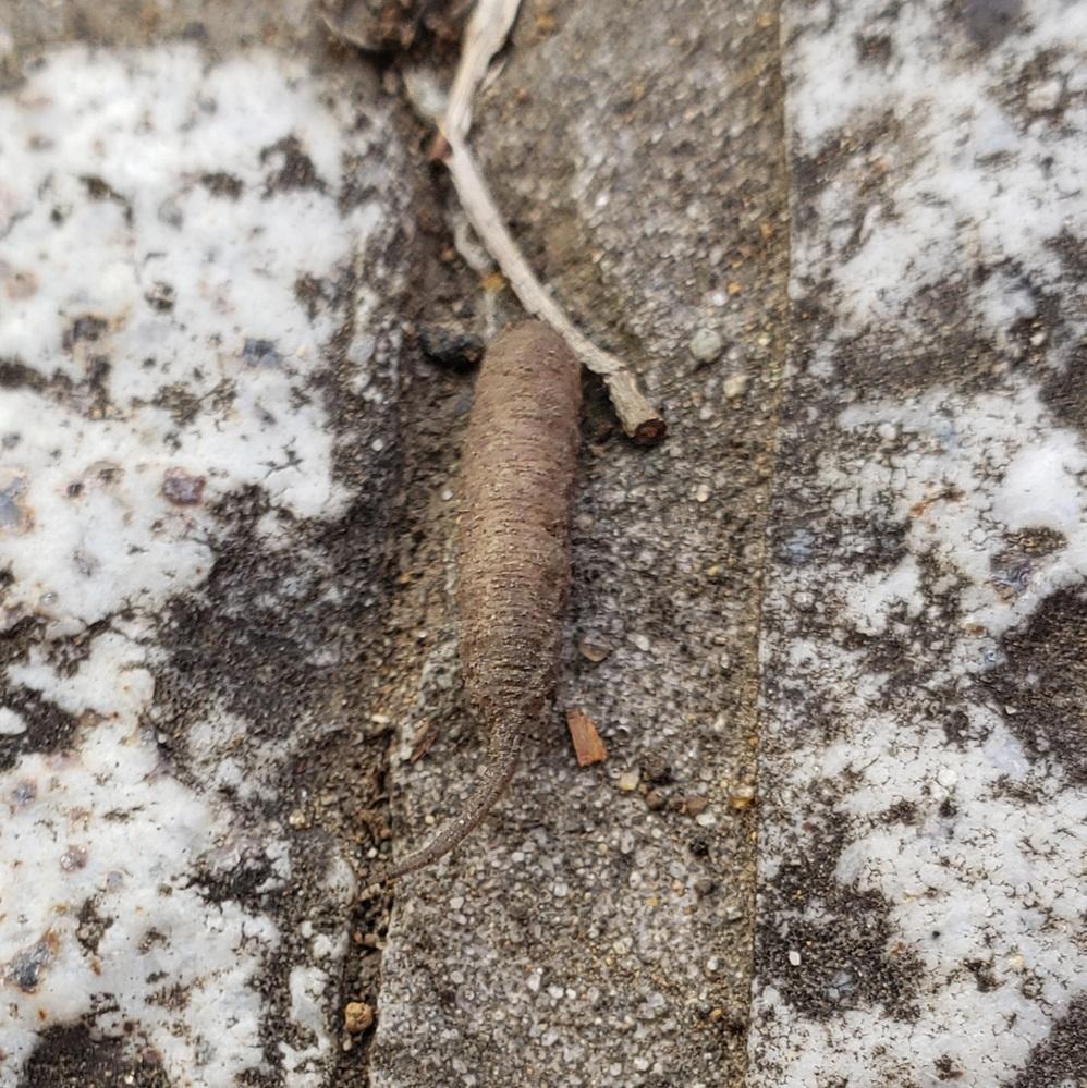 この幼虫はなんの幼虫でしょうか? 後ろのでっぱりが気になります。