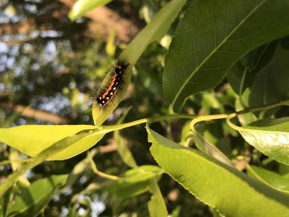 なんの蛾?蝶?の幼虫ですか?