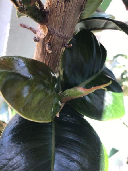ゴムの木に虫? 新芽がたくさん出たのですが、 今朝、緑の小さい虫のようなものが。 対処の仕方、薬剤、または手作りできるならしたいです。 詳しい方、教えて下さい!