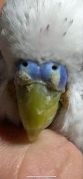 セキセイインコを飼っているのですが、鼻の部分に白い塊みたいなものがついています。 これは大丈夫なのでしょうか?