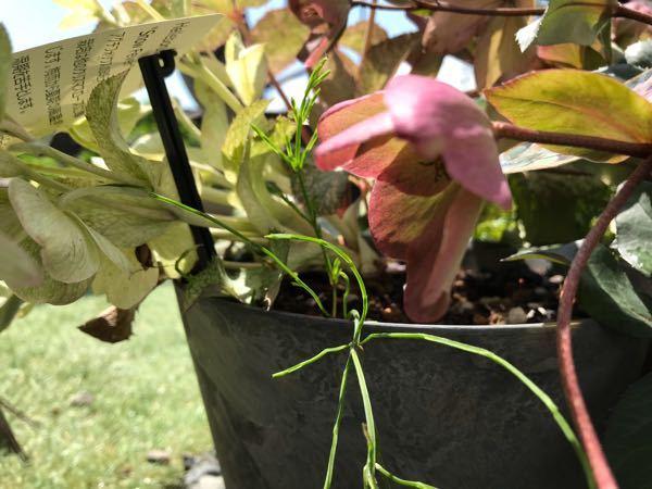 このつくしの葉のような植物は何という名前でしょうか? 今日、庭仕事をしていて発見し、庭ではこんな子初めてなので気になりました。