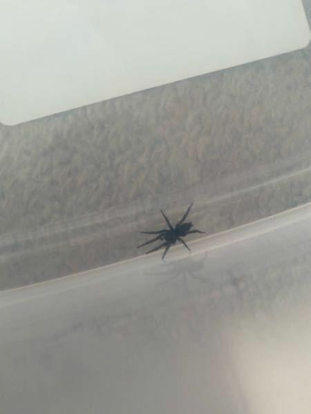 家にでてきた蜘蛛なんですけど、種類とかわかったりしますか?