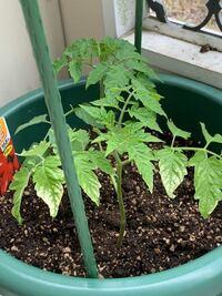ミニトマトをプランターに植えました 葉先が白?このようになるのは病気でしょうか?