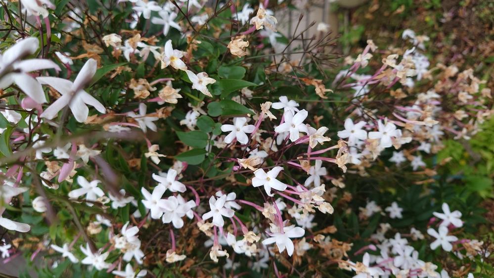 お花の名前を教えて下さい。 家の近くでこの時期になるとお花のいい香りがするんです。 遠目から生け垣に植わっているこの樹花かなぁと思ってみてました。 今日会社近くでも似た香りがしてみたら似ている花...