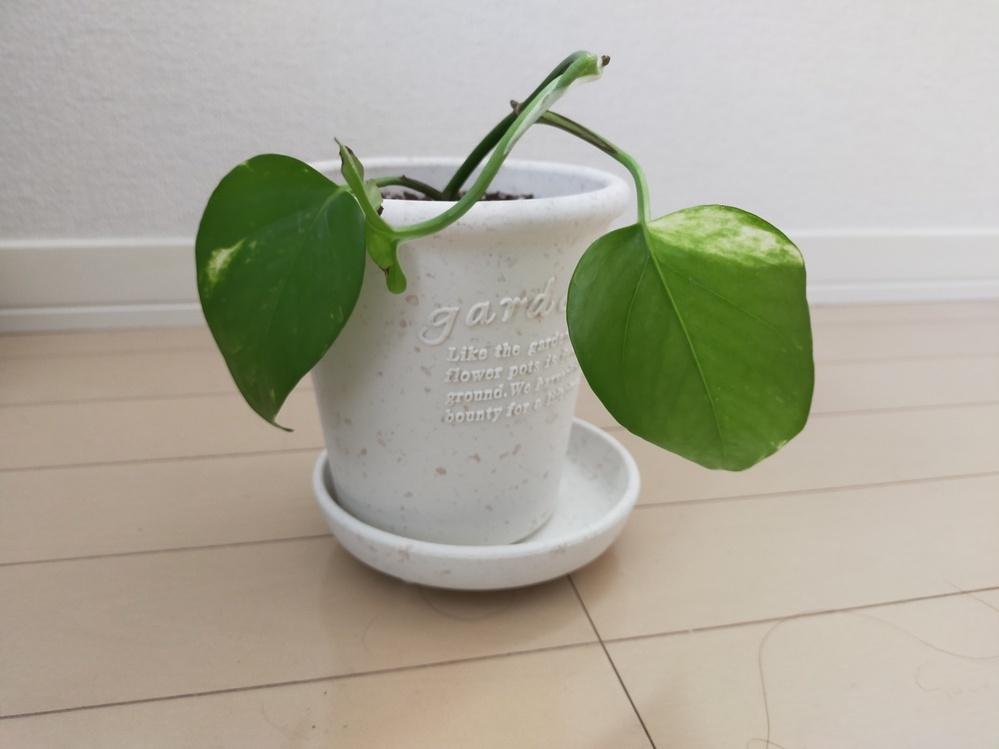 最近知り合いからもらった観葉植物なのですが、名前が分からず育て方も調べられません。どなたかご存知の方いらっしゃらないでしょうか?