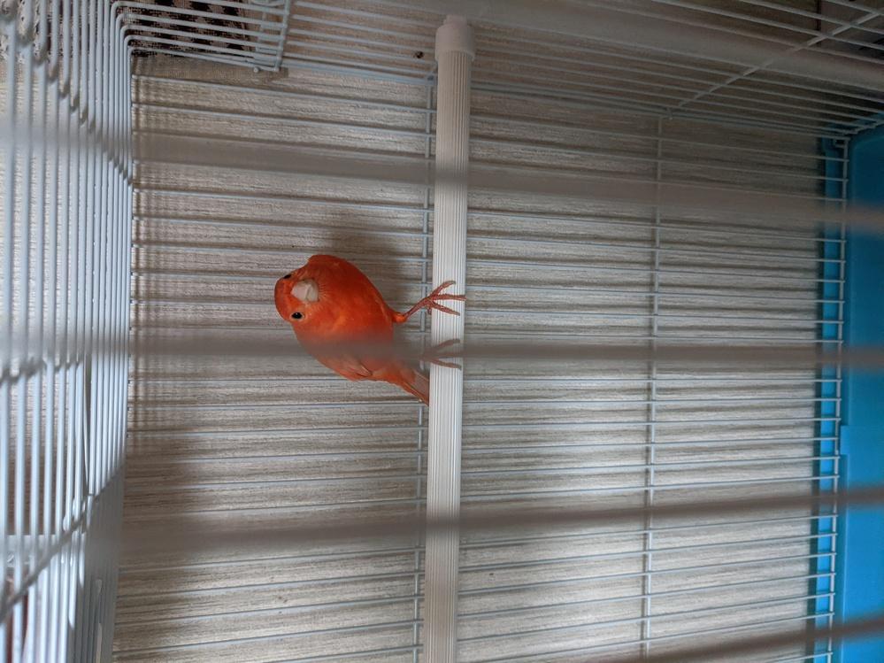 カナリア(おそらく)を拾いました。 とりあえずケージと餌と水を用意して玄関に置いているのですが、他にも用意した方が良いものはありますか? 鳥の種類的に十中八九どこかから逃げてきた子だと思うのですが、飼い主が見つからなかった場合私の家で飼う可能性があるので、カナリアを育てる上で注意した方が良い事など教えて下さい。