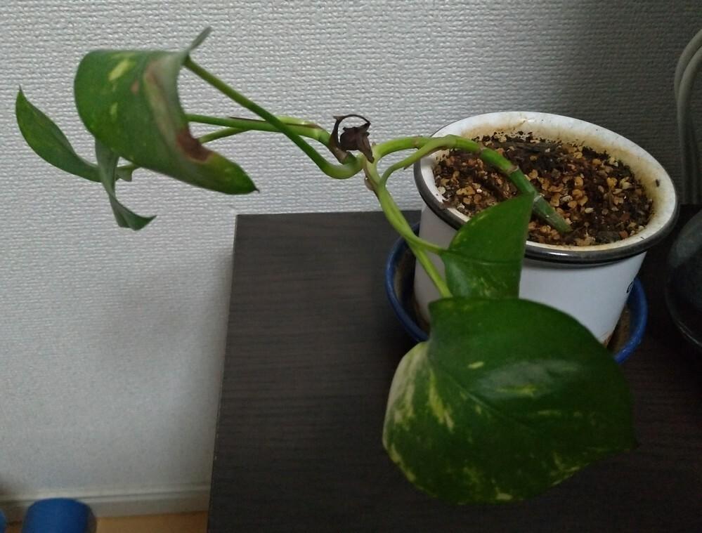 成長しないポトス。 室内で育てていますが2年位、葉が段々減ってきて大きくなりません。 何がいけないのでしょうか? 水やりは週1位です。