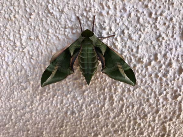 孵化したばかり緑色の羽根、この芸術的な蛾の名前ご存知の方、よろしくお願い致します。