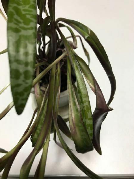 観葉植物だと思いますが、今日もらって来た植物ですが、植え替えをして水やりをしたのですが、 ダラーんとしてしまい、 この植物の名前もわからなく、どのように扱って良いのかも分からず質問させて頂きました! 今はこの様になってますが、姿は雑草の様な容姿で 花が咲くと言っていました。 今はこの様になってしまいましたが 葉の柄に特徴があるので 葉柄が判るように画像載せましたが、 どなたかこの植物の名前...