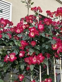 赤い花びら、中心が白い これは何というお花ですか?