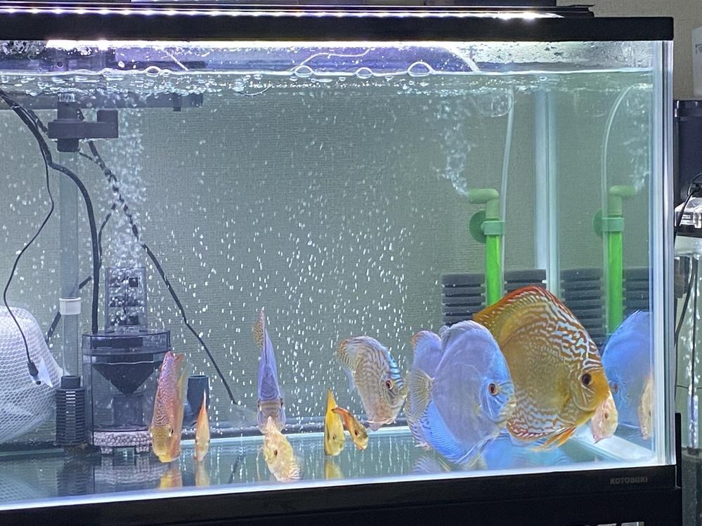 120センチ45.45水槽にての飼育です 外部フィルター コトブキ900sv 上部フィルター グランデマックス60センチ用 スポンジフィルター❌2 画像にのってます↑ フィッシュレット使用 数としましては 成魚6枚 5センチ〜10センチ程度 10枚です 過密飼育でしょうか? 毎日3分の2換水でも 必ず亜硝酸、硫酸塩が検出されます 「市販のテトラのペーパー使用」 バクテリア剤は毎日...